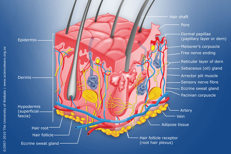 Diagram Of Human Skin Structure Sciencelearn Hub