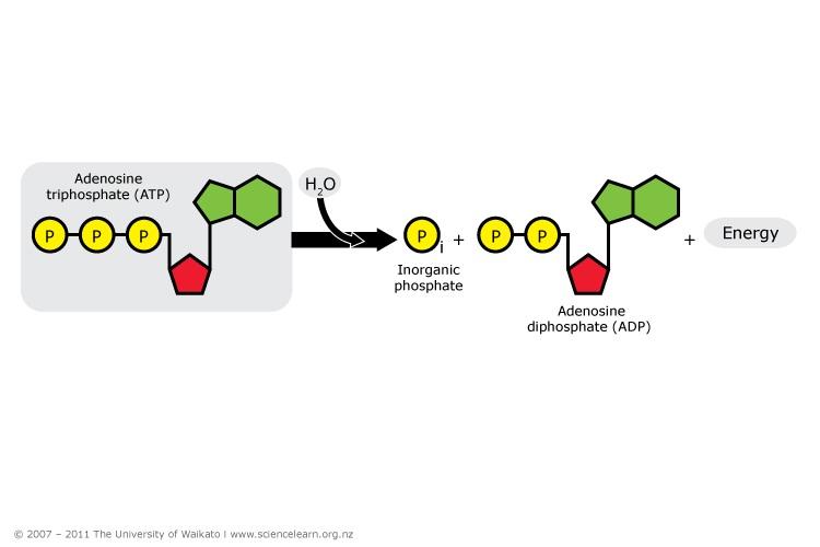 adenosine triphosphate atp essay