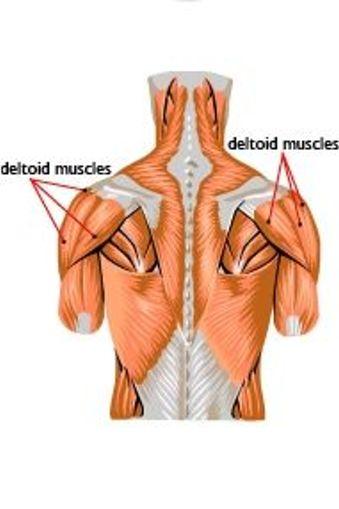 Deltoid Muscles Sciencelearn Hub