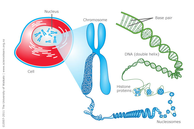 DNA, chromosomes and gene expression | Sciencelearn Hub