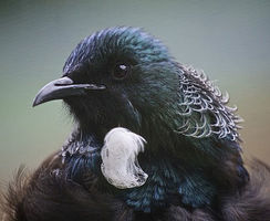 The tūī (Prosthemadera novaeseelandiae) is a bird endemic to New Zealand.