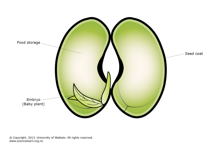 Bean Seed Embryo Sciencelearn Hub